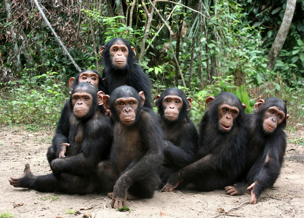 Orphan chimps at the JGI Tchimpounga Chimpanzee Rehabilitation Center in the Republic of the Congo